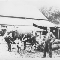 Oxen Hauling Logs. Gage Mill.