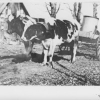 Sugaring: Sap Gathering with Oxen.